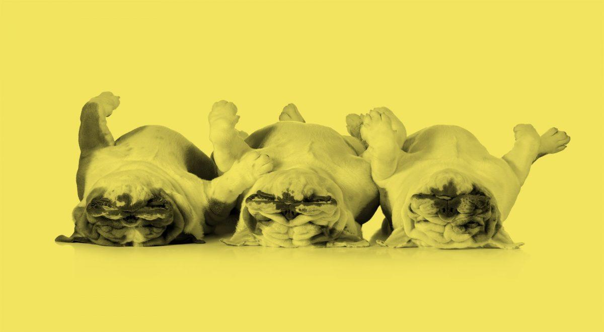 Tre hundar som ligger på rygg och ser uttråkade ut