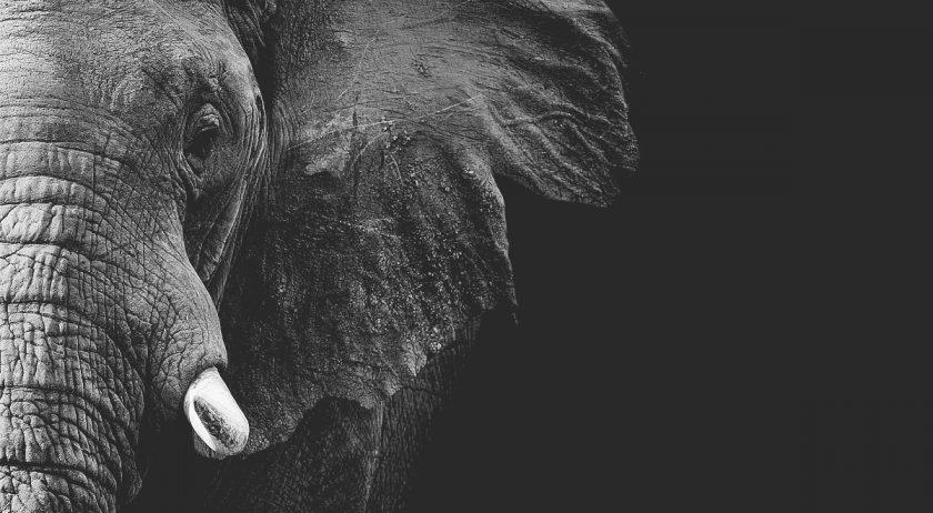 En kraftfull bild på en elefant på svart bakgrund